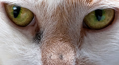 Hello (absencesix) Tags: lighting november usa cats pets eye nature animals cat fur washington intense iso400 chloe noflash domestic bodyparts mammals 2010 sammamish 32mm 2470mm manualmode daytodaylife canoneos1dsmarkii 100crop offcameraflash canon1dsmarkii strobed camera:make=canon geo:state=washington exif:make=canon exif:iso_speed=400 geo:city=sammamish objectsthings hasmetastyletag hascameratype adjectivesfeelingdescription selfrating2stars exif:focal_length=32mm 180secatf11 geo:countrys=usa exif:lens=240700mm november82010 exif:model=canoneos1dsmarkii camera:model=canoneos1dsmarkii exif:aperture=11 subjectdistanceunknown sammamishwashingtonusa geo:lat=475823101 geo:lon=1220304328 473456n122150w