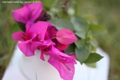 April showers bring May flowers ~ (S E R E E N) Tags: pink baby flower bokeh fuschia   sereen