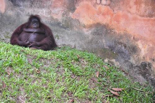 orang utan zoo taiping