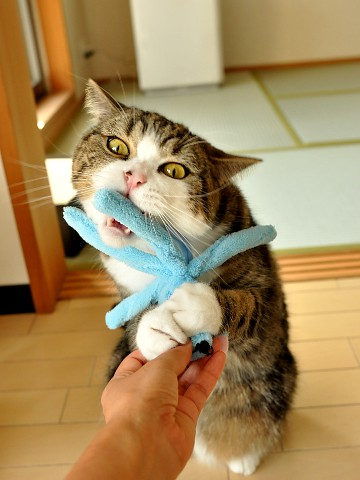 cute maru the cat playing with cat toy