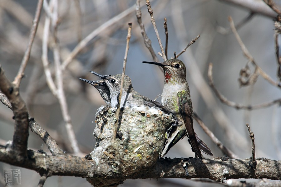 Anna's Hummingbird nest g 0320101