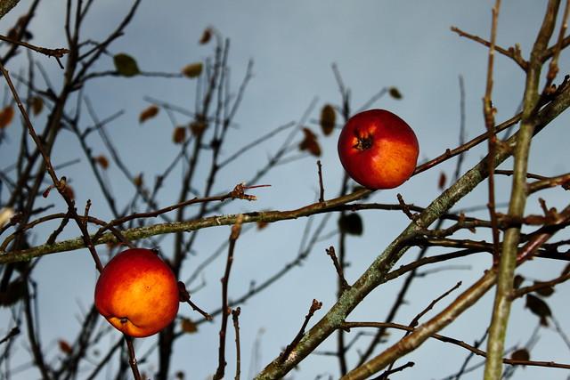 Dernières pommes