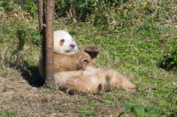 RYALE_Panda_Bears_15