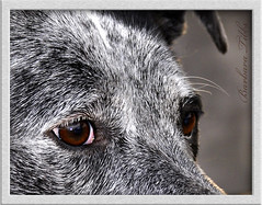 With eyes upraised (Explored) (misst.shs) Tags: dog texture nature animal hair nikon canine explore d90 explored macromonday