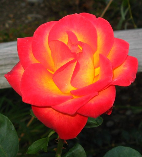 Rose Perfect Moment 03
