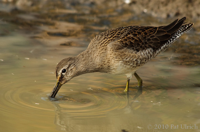 Probing dowitcher (2of2)