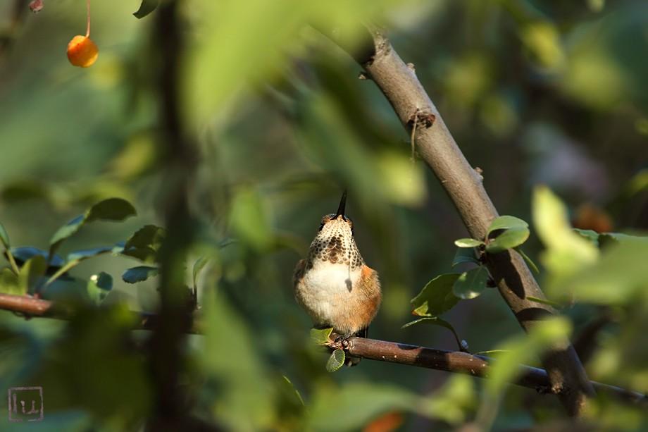 Allen's Hummingbird 111710-2