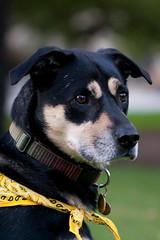 Headshot (beyondramen) Tags: dog oliver handsomeboy dogsitting atthepark