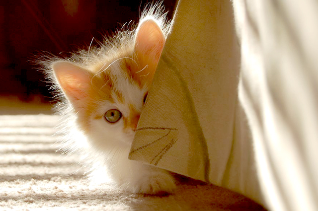 cute white and ginger kitten hiding behind curtain