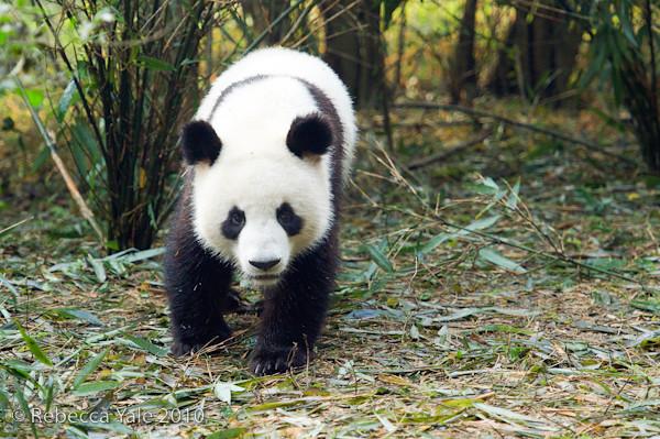 RYALE_Sichuan_Panda_11