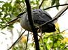 Bem próximo (Ricardo Venerando) Tags: bird nature animal brasil wildlife explore abc soe naturesfinest conservacion platinumphoto abcpaulista diamondclassphotographer ysplix grandeabc goldstaraward