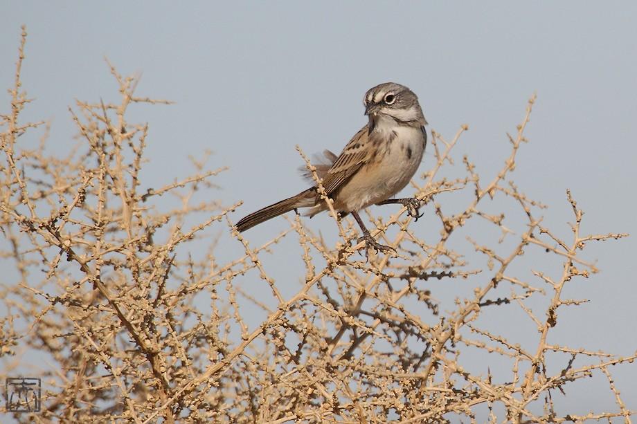 Sage Sparrow 11101