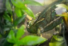 (Víctor-kun) Tags: madrid españa animals spain animales chameleon faunia camaleón chamaeleonidae