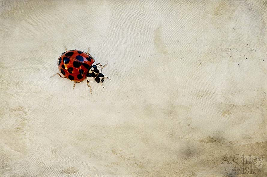 Lady Bug 1 RS