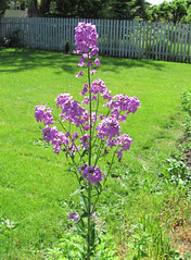 Mysterious purple flowers (Librarianguish) Tags: flowers purple growth mysterious growing 510
