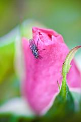 Fly in Rose (Juan Antonio Cap) Tags: flower macro fleur rose fly bokeh flor blomma  blume makro fiore maua mosca  ohhh bulaklak hoa voar bloem lill pavot  iek  kwiat blodau   vliegen  kukka     blth    sinek  trandafir lent kvtina floare   colorphotoaward   lata     zbura