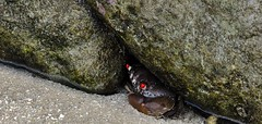Krabbe - crab (fleckchen) Tags: ocean sea lake nature animals island foot see tiere asia asien meer 10 indian natur cancer crab insel crabs maldives krabbe krabben malediven cancers ozean indischerozean embudu krebse tierisch zehnfuskrebs