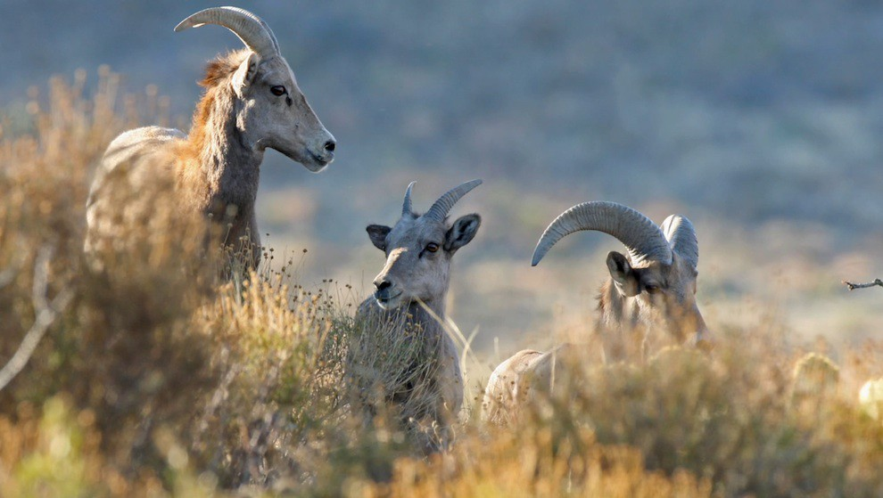 Wildlife: Bighorn sheep at US-Mexico wall
