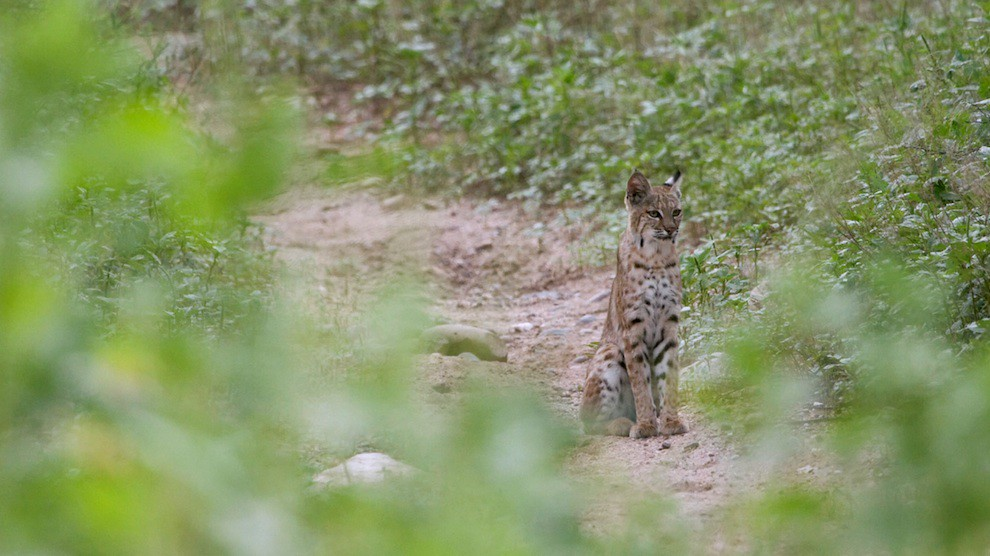 Wildlife: Bobcat at US-Mexican Wall