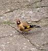 What Am I Doing Down Here ? (Church Mouse 07) Tags: uk november autumn bird nature lumix path wildlife goldfinch panasonic british 2010 inmygarden wildbird dmcfz28 churchmouse07