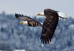 The race is on (Deby Dixon) Tags: winter nature landscape photography inflight nikon bravo idaho eagles raptors deby coeurdalene allrightsreserved 2010 baldeagles naturephotographer specanimal debydixon debydixonphotography