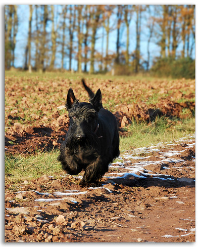 scottish terrier don t don t you love jock the scottish terrier scottish 7313
