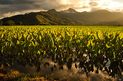 Lo'i Magic (Micah Camara) Tags: sun reflection landscape hawaii scenery northshore kauai hawaiian patch hanalei goldenhour taro loi