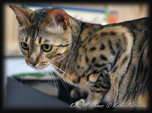 28-365 Jonas the Bengal Cat