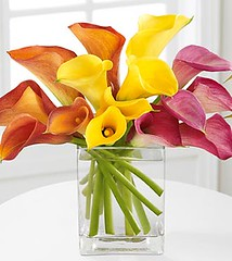 multicolored callas