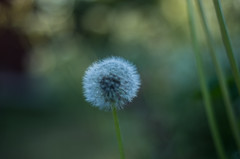 dandelion, Sweden (ΞSSΞ®®Ξ) Tags: ξssξ®®ξ pentax k5 summer 2017 green light countryside hälsingland sweden perspective outdoor depthoffield plant smcpentaxm50mmf17 grass bokeh evening dandelion