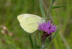 Small White butterfly2 (Steeple Ducks) Tags: butterfly butterflies wiltshire upton scudamore a350 bank embankment verge road
