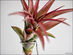 (2548) Tillandsia Brachycaulos Abdita (QuimG) Tags: tillandsiabrachycaulosabdita tillandsias natura nature naturaleza quimg quimgranell joaquimgranell macro
