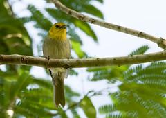 Yellow-headed Warbler _ Teretistris fernandinae (Kremlken) Tags: warblers endemics endemic cuban parquenacional birds birding neotropical