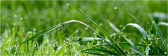 4.07.2017 - Kneipkur gefällig - (HORB-52) Tags: berndsontheimer gräser tautropfen morgentau