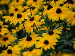 _IGP8342.jpg (DWO630) Tags: 90mm pentaxk01 flowers garden lewisginter lewisginterbotanicalgarden lgbg macrolens primelens richmond rva tamron90mmmacro va virginia