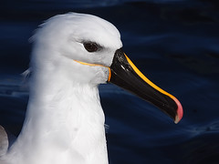 Yellow-nosed Albatross (Thalassarche chlororhynchos) (David Cook Wildlife Photography) Tags: australia nsw eden pelagic yellownosedalbatross thalassarchechlororhynchos kookr sonysal70400g davidcookwildlifephotography ©2010davidcookwildlifephotographyallrightsreserved