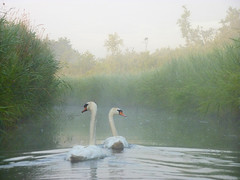 Swans in the early morning light (#Dave Roberts#) Tags: morning light england mist bure dawn early swan kayak stock norfolk canoe swans available horning dlrtalk21com