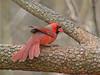 Tail Flare (TheGreenHeron) Tags: ohio red bird nature animal scarlet jen cardinal jennifer cleveland jenny goellnitz jenpublic jengoellnitz jennifergoellnitz