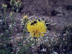 Merodeadora (Garabatera) Tags: naturaleza nature animal animals thistle bee animales abeja cardo