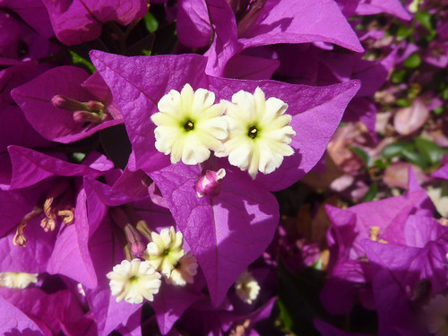Bougainvillea face