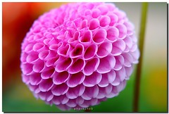 Pompon Dahlia (PHOTOPHOB) Tags: pink dahlia flowers autumn red summer plants plant flores flower color macro rot nature fleur beautiful beauty sex fleurs ball germany garden petals spring colorful flickr dof autum stuttgart blossom bokeh sommer herbst natur flor pflanze pflanzen blumen bloom otoo blomma dalie blume fiore blomst asteraceae outono dahlias dalia frhling bloem jesie floro kwiat pompons killesberg dahlie sonbahar dahlien kvt blomman efterr blomsten myowncreation bej fantasticflower bokehlicious dalio colorphotoaward aplusphoto colourartaward photophob awesomeblossoms theperfectpinkdiamond balldahlien