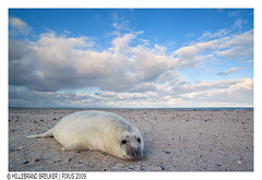 baby seal (Hillebrand Breuker) Tags: winter baby snow cold germany puppy mammal deutschland dune sneeuw national isle geographic duitsland eiland koud halichoerusgrypus greyseal helgoland roofdier zoogdier carnivoor huiler grijzezeehond duitsebocht kegelrob duitslandgermanydeutschland zeeroofdier jongezeehondophetstrand youngsealatthebeach sleeswijkholsteinschleswigho sleeswijkholsteinschleswigholstein