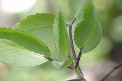 葉から芽(セイロンベンケイソウ)