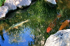 Here I Am (chicbee04) Tags: summer arizona fish hot pond colorful day bright tucson sunny american koi consumer govinda ongoldenpond minivacation twohour beautifulfish beautifulkoi newamericanconsumerstwohourminivacation govindapond