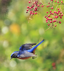 #634  (John&Fish) Tags: bird nature birds wow photography taiwan best taichung 2010 snowmountain vividniltava niltavavivida