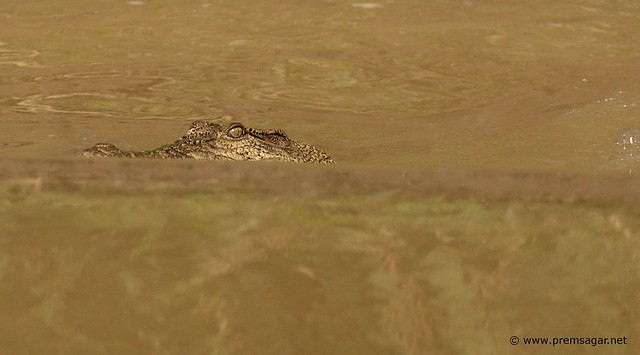 A friend in the wild waters of Kinabatangan