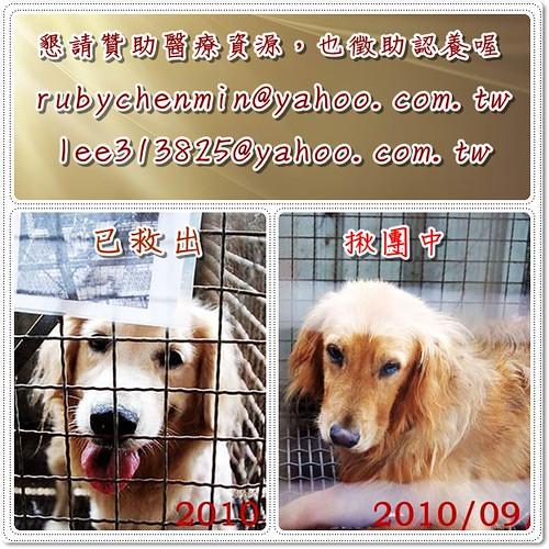 「需要支援助認養」新竹竹北收容所救出的黃金獵犬lillie小姐,基本健檢中了心絲蟲,另所內還有一隻母黃金也在揪團中,懇請贊助醫療資源,也徵助認養喔~隨手幫忙轉PO也是非常重要~謝謝您!20100909