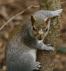 grey squirrel strange face markings (Neil Phillips) Tags: life park lines gardens competition knightsbridge kensington 300 between dpi rspb