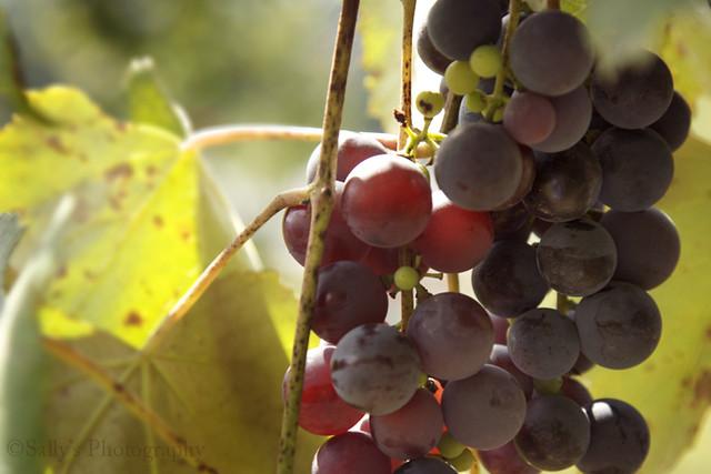 IMG_5886a grapes.sm