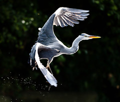 Take-off (Steve-h) Tags: ireland dublin bird art tourism heron nature water river design flying droplets drops europe bokeh wildlife flight tourists recreation aerlingus steveh specanimal greatgreyheron superaplus aplusphoto canoneos5dmarkii canoneos5dmkii bestcapturesaoi tripleniceshot mygearandmepremium mygearandmebronze mygearandmesilver mygearandmegold mygearandmeplatinum mygearandmediamond canonef70200mmf28lisiiusm flickrstruereflection1 flickrstruereflection2 flickrstruereflection3 flickrstruereflection4 flickrstruereflection5 flickrstruereflection6 flickrstruereflection7 rememberthatmomentlevel4 rememberthatmomentlevel1 rememberthatmomentlevel2 rememberthatmomentlevel3 rememberthatmomentlevel9 rememberthatmomentlevel5 rememberthatmomentlevel6 rememberthatmomentlevel10 vigilantphotographersunite vpu2 vpu3 vpu4 vpu5 vpu6 vpu7 vpu8 vpu9 vpu10